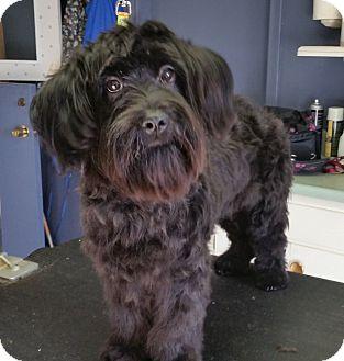 Schnauzer (Standard)/Havanese Mix Dog for adoption in Phoenix, Arizona - Amy