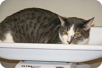 Domestic Shorthair Cat for adoption in Wildomar, California - Whiskers