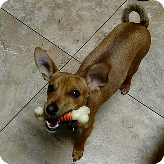 Chihuahua/Dachshund Mix Dog for adoption in Palm Harbor, Florida - Prince