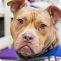 American Staffordshire Terrier Mix Dog for adoption in Grand Rapids, Michigan - Hodor