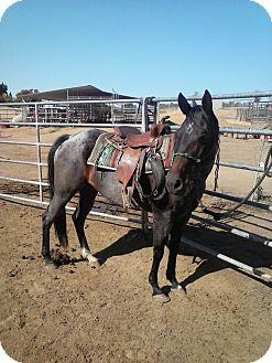 Quarterhorse Mix for adoption in Newcastle, California - Po