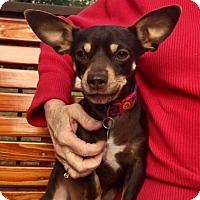 Adopt A Pet :: Paco 10 pound little boy! - Rowayton, CT
