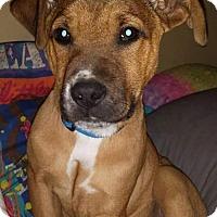 Adopt A Pet :: Scout - Fenton, MO