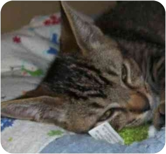 Domestic Shorthair Kitten for adoption in Annapolis, Maryland - Jackson
