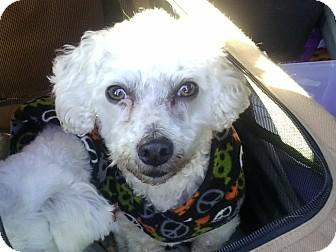 Bichon Frise/Poodle (Miniature) Mix Dog for adoption in Farmingtoon, Missouri - Bubby