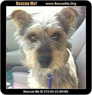 Schnauzer (Miniature)/Terrier (Unknown Type, Medium) Mix Dog for adoption in Boulder, Colorado - Lola