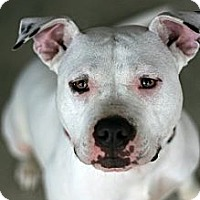 American Pit Bull Terrier/American Staffordshire Terrier Mix Dog for adoption in Newark, Delaware - Felicity
