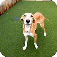 Adopt A Pet :: Gidget - Austin, TX