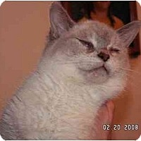 Adopt A Pet :: L C (Lap Cat) - Milford, OH