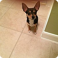 Adopt A Pet :: MOOSE! Tiny Chihuahua - Houston, TX