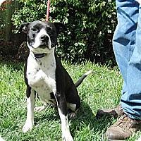 Adopt A Pet :: Lacy sweetness - Sacramento, CA