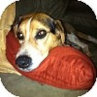 Adopt A Pet :: Bugle - Novi, MI