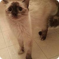 Adopt A Pet :: Mia - Chandler, AZ