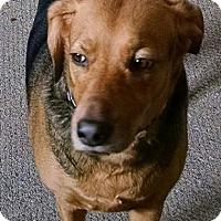 Adopt A Pet :: Layla - Lancaster, PA