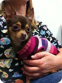 Chihuahua Mix Dog for adoption in Seattle c/o Kingston 98346/ Washington State, Washington - Coco Puff
