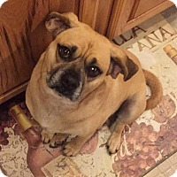 Adopt A Pet :: Puggles - Grand Rapids, MI