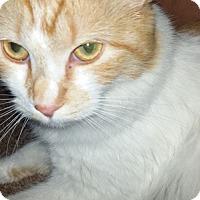 Adopt A Pet :: Laila - Monrovia, CA