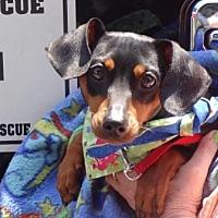 Adopt A Pet :: NICKY (Nicholas) - Portland, OR