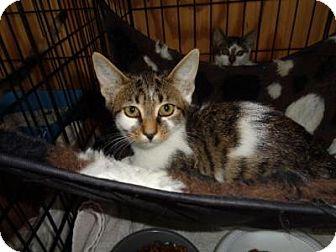 Domestic Shorthair Kitten for adoption in Breinigsville, Pennsylvania - Tessa