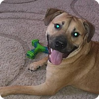 Adopt A Pet :: Shep - Willingboro, NJ