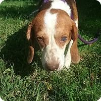 Beagle Dog for adoption in Shelter Island, New York - Gus