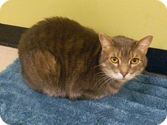 Domestic Shorthair Cat for adoption in The Colony, Texas - Charlie 2
