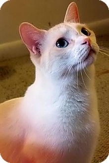 Siamese Cat for adoption in Orlando, Florida - Talisa