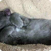 Domestic Longhair Kitten for adoption in Park Falls, Wisconsin - Marshall