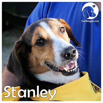 Beagle Dog for adoption in Novi, Michigan - Stanley
