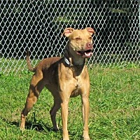 Pit Bull Terrier Mix Dog for adoption in Batavia, Ohio - Liberty