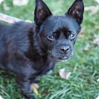 Adopt A Pet :: Batman - Whitehall, PA