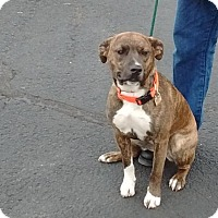 Catahoula Leopard Dog Mix Puppy for adoption in Westminster, Colorado - Linda