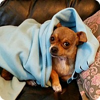 Chihuahua Mix Dog for adoption in Los Angeles, California - Rosie