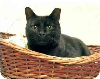 Domestic Shorthair Cat for adoption in Plainville, Massachusetts - Blackie