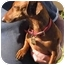 Photo 1 - Dachshund Dog for adoption in Garden Grove, California - Husker