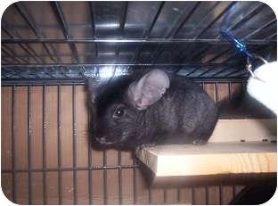 Chinchilla for adoption in Avondale, Louisiana - Morgan