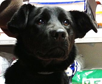 Labrador Retriever Mix Puppy for adoption in Huntsville, Ontario - Ella - Puppy!