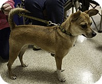Rat Terrier Mix Dog for adoption in Loudonville, New York - Missy
