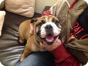english bulldog rescue ohio chubby adopted dog columbus oh english bulldog 5477