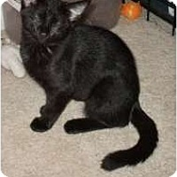 Domestic Shorthair Cat for adoption in Henderson, Kentucky - Bella
