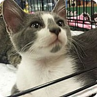 Adopt A Pet :: Smudge - Edmond, OK
