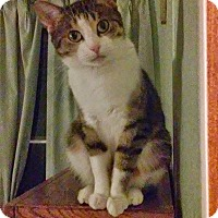 Adopt A Pet :: Cassiopeia - St. Louis, MO