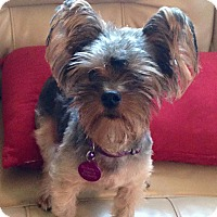 Adopt A Pet :: Chico/pending - Elkhart, IN