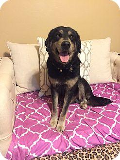 German Shepherd Dog/Anatolian Shepherd Mix Dog for adoption in oklahoma city, Oklahoma - Utah