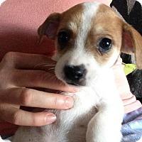 Adopt A Pet :: Simon - Bakersfield, CA