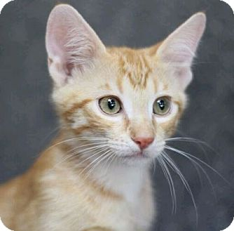 Domestic Shorthair Kitten for adoption in Raleigh, North Carolina - Tex L