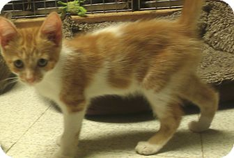Domestic Shorthair Kitten for adoption in Acme, Pennsylvania - RANDY