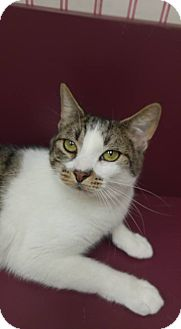 Domestic Shorthair Cat for adoption in Muscatine, Iowa - Sonny