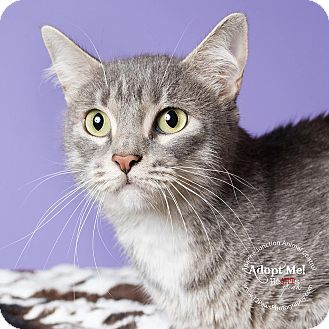 Domestic Shorthair Cat for adoption in Apache Junction, Arizona - Momma