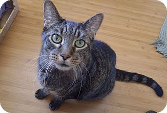Domestic Shorthair Cat for adoption in Quail Valley, California - Big Boy